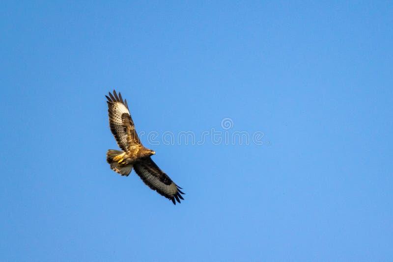 Ave rapaz común del buteo del Buteo del halcón en vuelo contra los cielos azules claros fotos de archivo