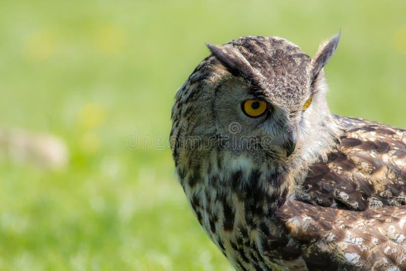 Ave rapaz del bubón del bubón del búho de Eagle que mira comedida a la tierra imagen de archivo libre de regalías