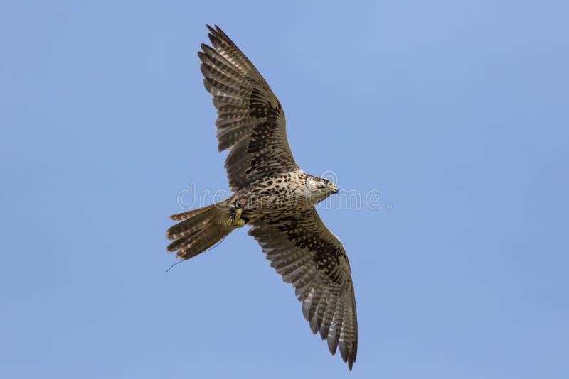 Ave rapaz del cherrug de Falco del halcón de Saker en vuelo fotos de archivo