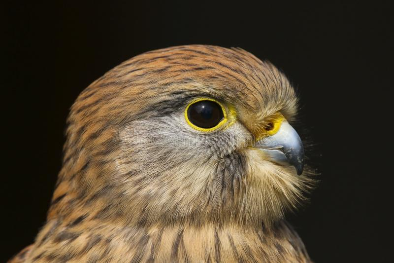Ave rapaz del tinnunculus del falco del cernícalo imágenes de archivo libres de regalías