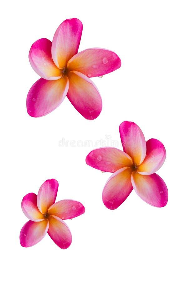 (Avec le chemin de coupure) beau plumer rose doux d'isolement de fleur photographie stock libre de droits