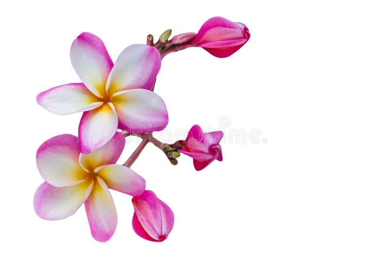 (Avec le chemin de coupure) beau plumer rose doux d'isolement de fleur photos stock