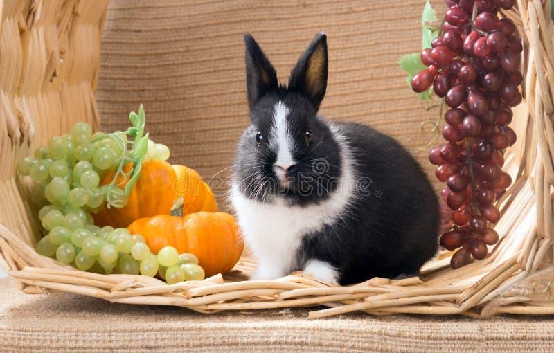 Avec le lapin noir et blanc de Néerlandais de nain de bébé de grandes joues un photos stock