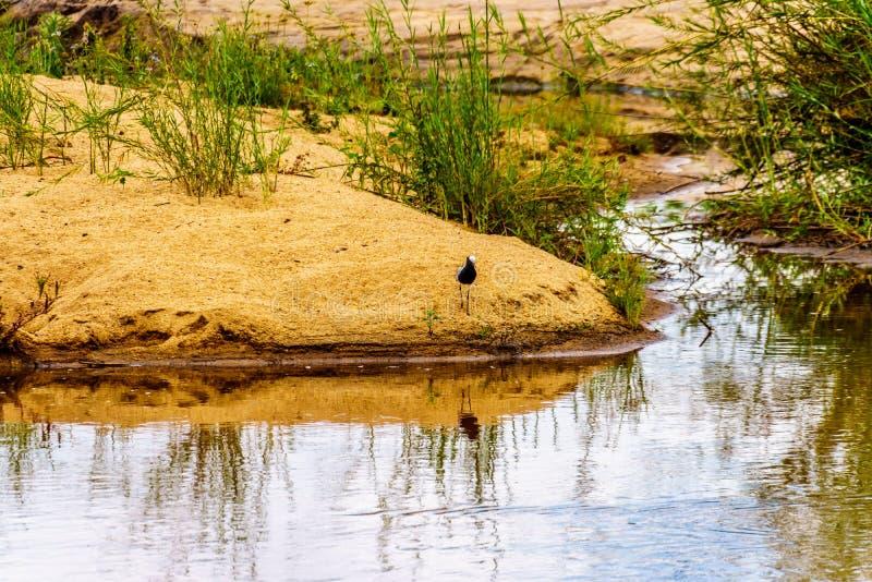 Avefría del herrero en el borde de Sabie River cerca de Skukuza en el parque nacional de Kruger imágenes de archivo libres de regalías