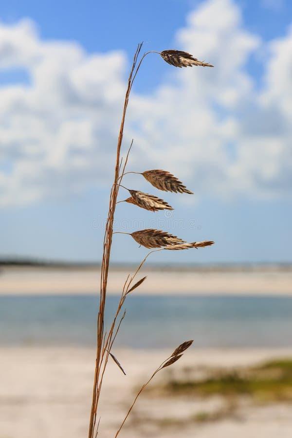 Aveia do mar na praia imagens de stock