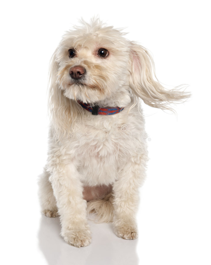 avel coton de hund maltese blandad t fotografering för bildbyråer