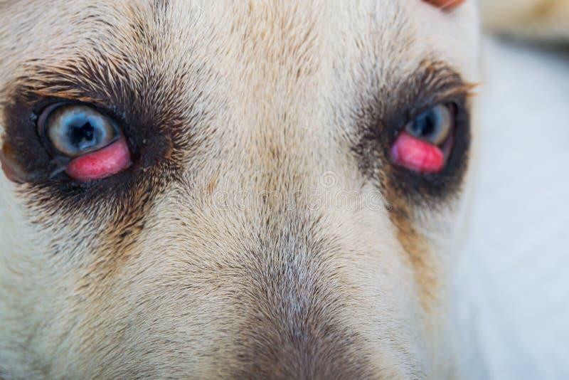 Avel f?r rottingcorsohund med k?rsb?rsr?d ?gonn?rbild royaltyfri foto