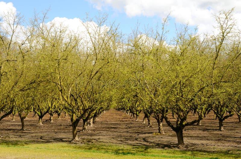 Avelines de Willamette photo libre de droits