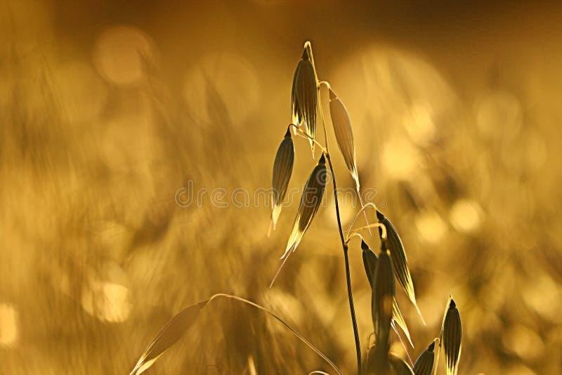 Download Avena al campo di tramonto immagine stock. Immagine di asciutto - 55359791