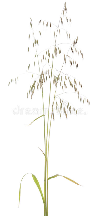 Download Avena fatua stock image. Image of plant, avena, white - 41037003