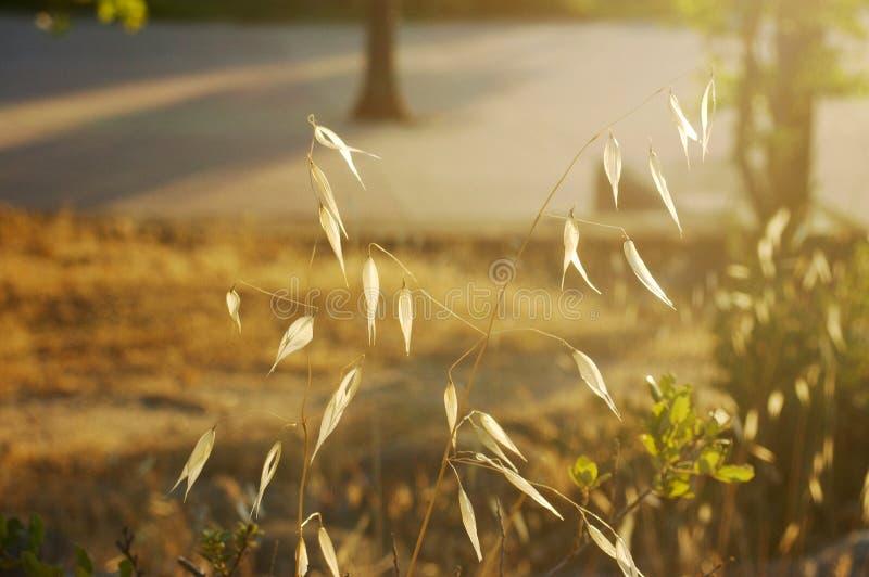 Avena seca del otoño fotos de archivo