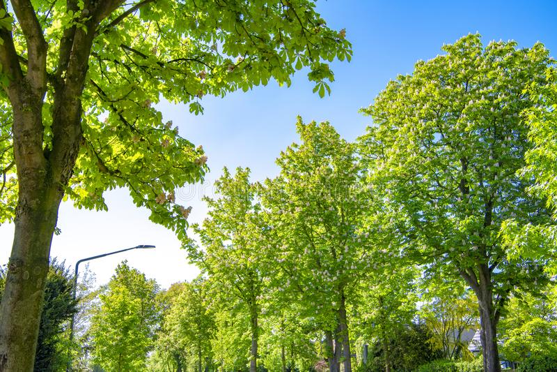 Avenida castanha-alinhada de florescência na mola imagem de stock royalty free