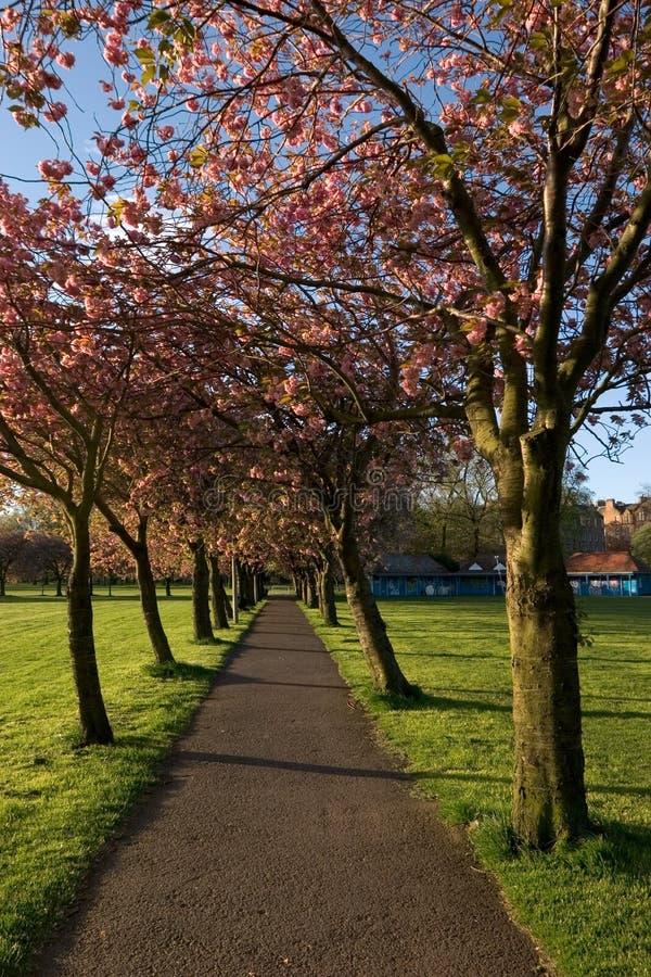 Avenida da árvore de cereja fotografia de stock