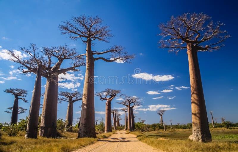 Avenida DE Baobab royalty-vrije stock foto