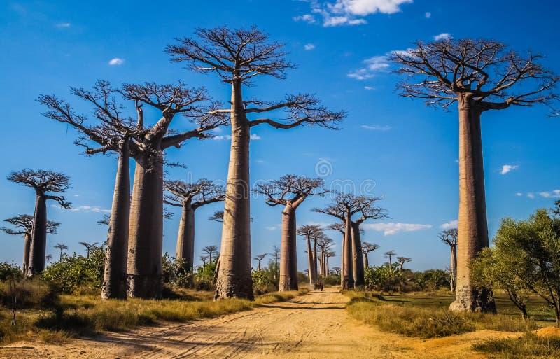 Avenida DE Baobab stock fotografie