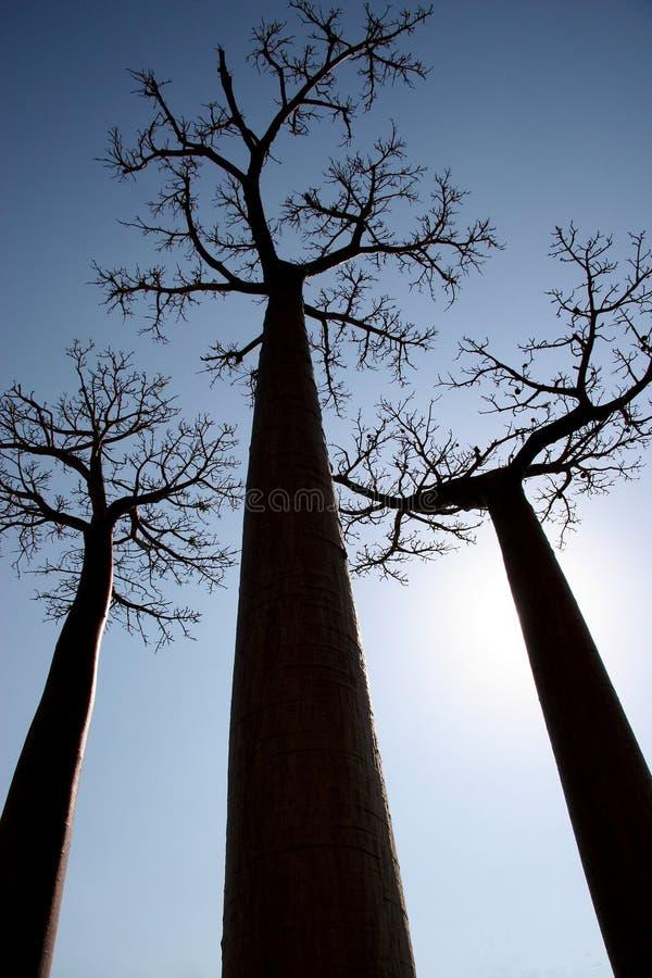 Avenida de Baobab, Madagascar fotos de stock royalty free