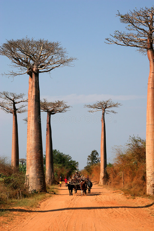 Avenida de Baobab, Madagascar imagens de stock royalty free