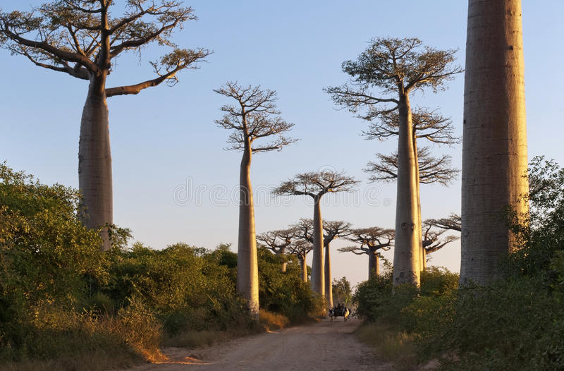 Avenida de los baobabs fotos de archivo libres de regalías