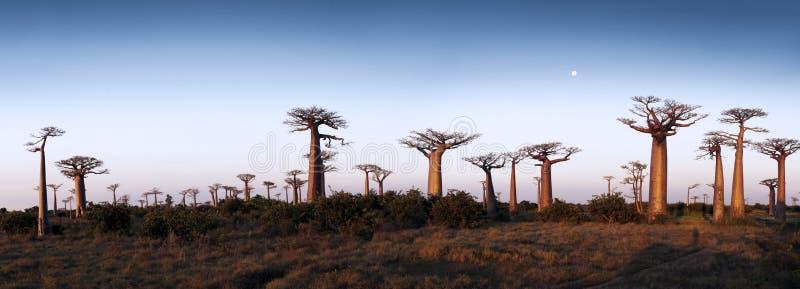 Avenida de los baobabs fotografía de archivo