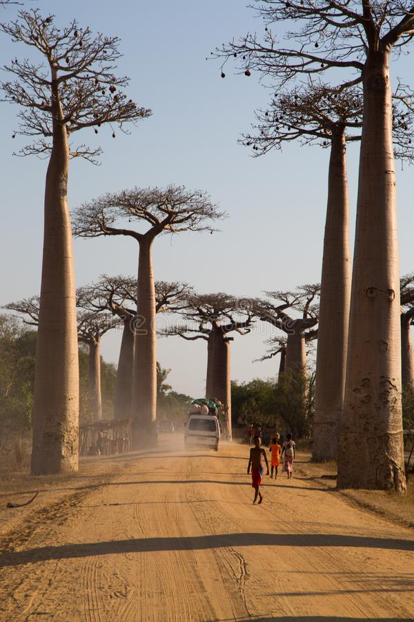 Avenida do Baobab fotografia de stock