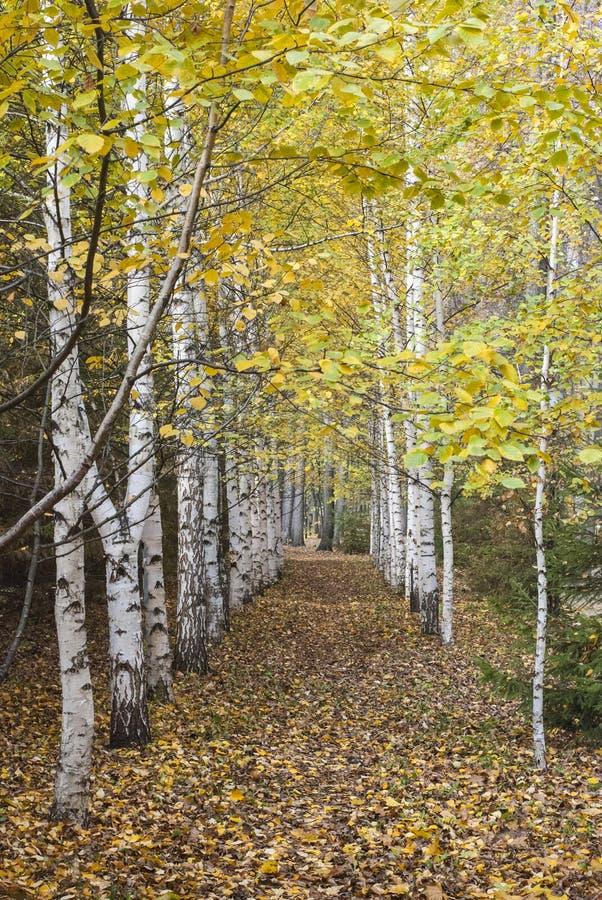 A avenida do vidoeiro do outono fotos de stock royalty free