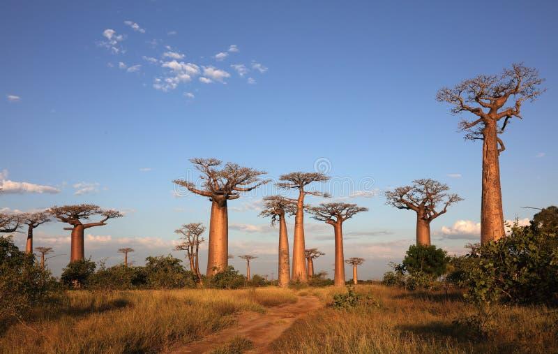 Avenida dos baobabs, Madagáscar foto de stock royalty free