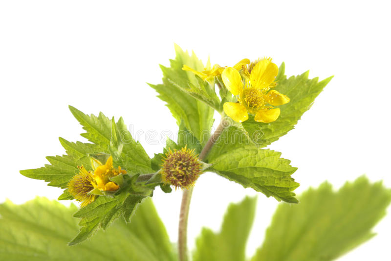 Avens jaune ou macrophyllum de Geum d'isolement sur le fond blanc photographie stock