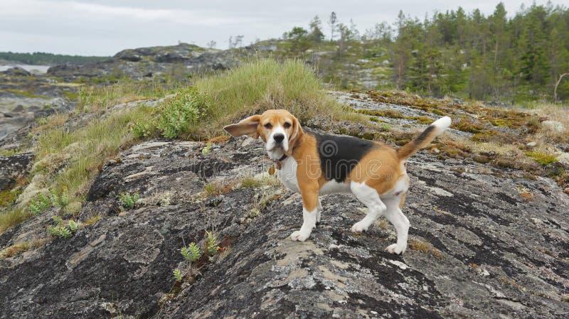 Aventuras del mar del perrito del beagle del perro imagen de archivo libre de regalías