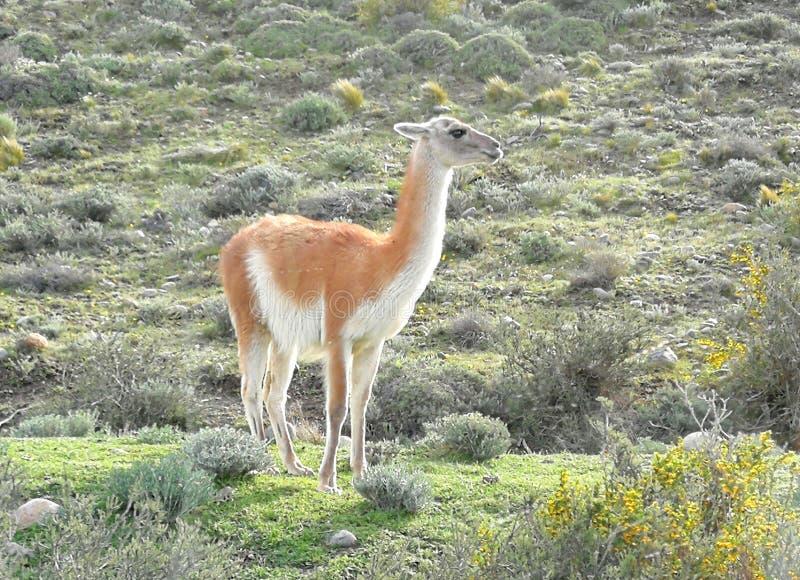 Aventure de Torres-Del-Paine de trekking de circuit du Guanaco W de parc national de Patagonia du Chili photographie stock