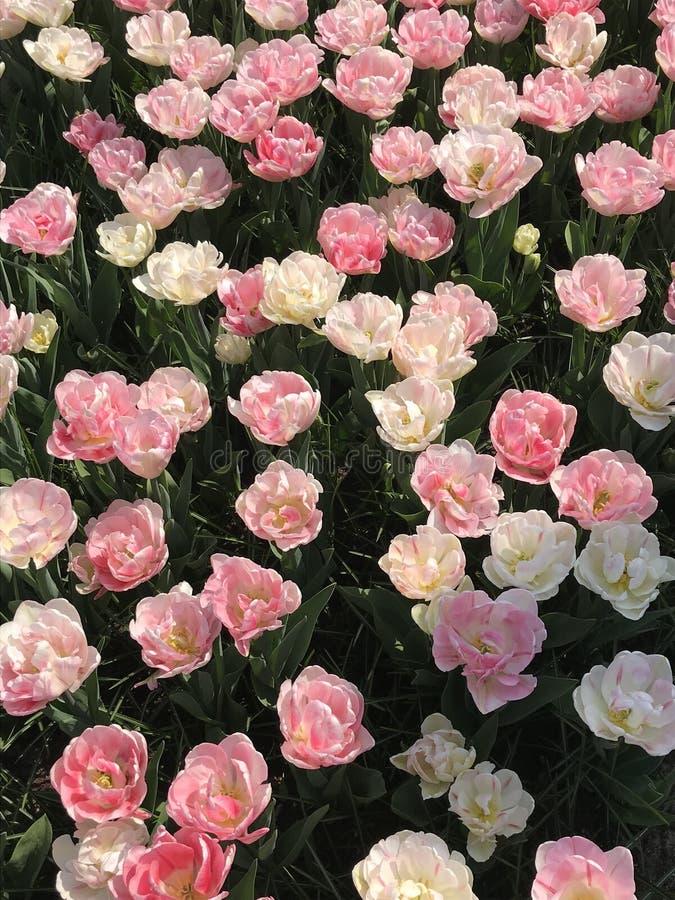 Aventures amoureuses : Tulipes de rose et blanches photo libre de droits