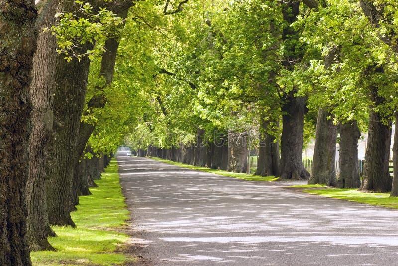 avenue 02 dąb zdjęcie stock