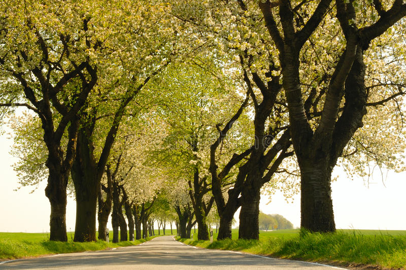 Avenue. An avenue of old cherry trees in spring royalty free stock photo