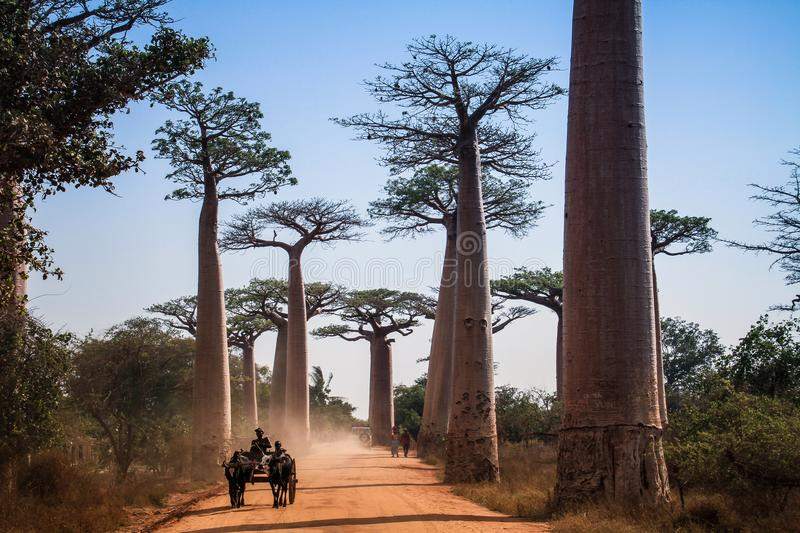 Buffalo cart driving through baobab avenue, Menabe, Madagascar. The Avenue or Alley of the Baobabs is a prominent group of baobab Adansonia grandidieri trees royalty free stock photos