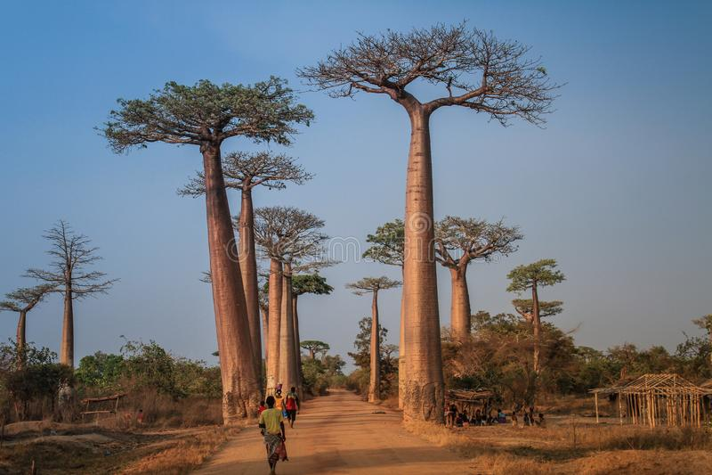 Avenue of the Baobabs, Morondava, Menabe Region, Madagascar. The Avenue or Alley of the Baobabs is a prominent group of baobab Adansonia grandidieri trees lining royalty free stock photo