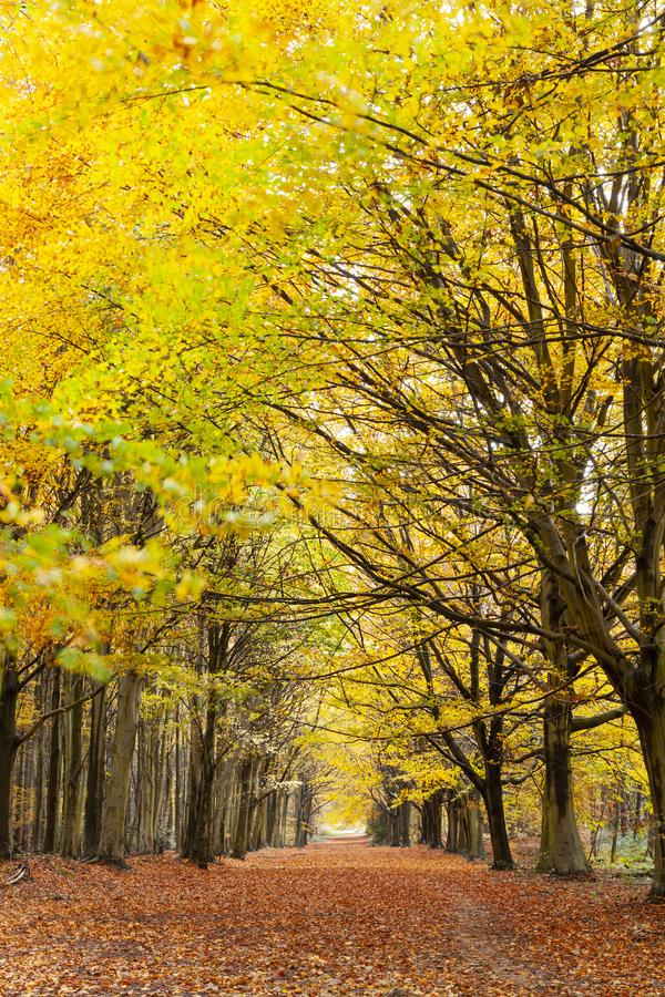 Avenue of autumn trees with golden leaves. Covering the forest floor. Seasonal fall woodland colors royalty free stock photo