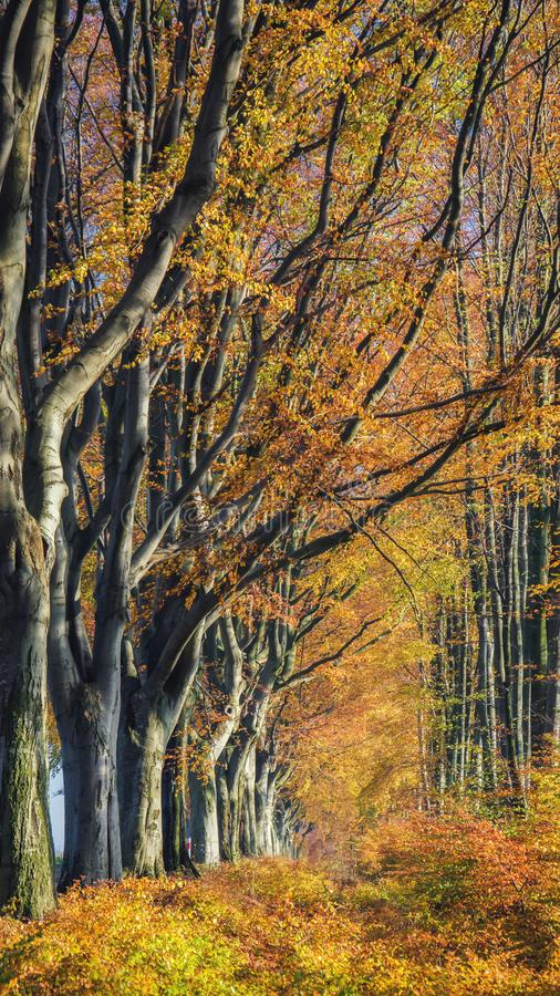 ROADSIDE TREES. Avenue beech in autumn colors stock image