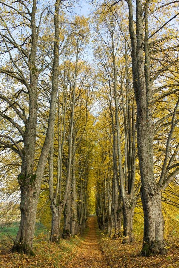 Avenue of big trees. stock image