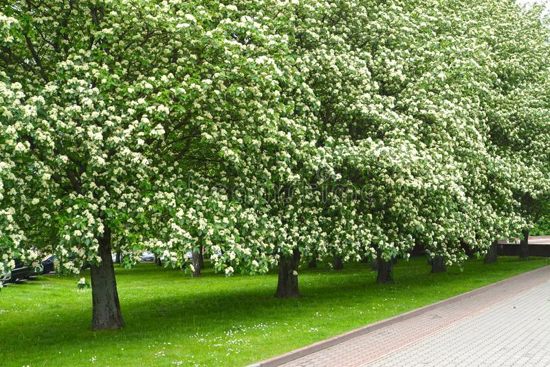 The avenue of the blossoming trees of a mountain ash Scandinavian Sorbus intermedia Ehrh. Pers. Spring.  royalty free stock image