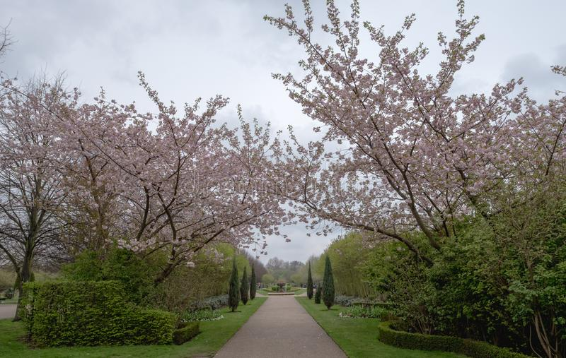 Avenue of cherry trees in blossom at Regent`s Park, London. stock images