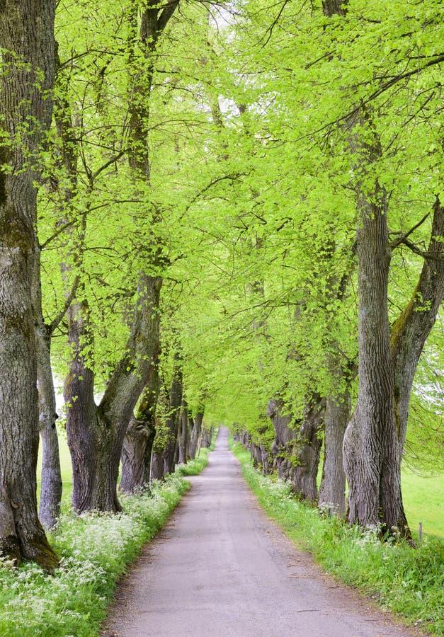 Avenue d'arbre avec le petit chemin à l'intérieur image stock