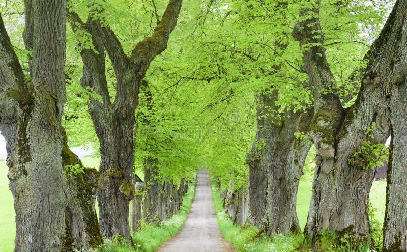 Avenue d'arbre avec le petit chemin à l'intérieur photographie stock