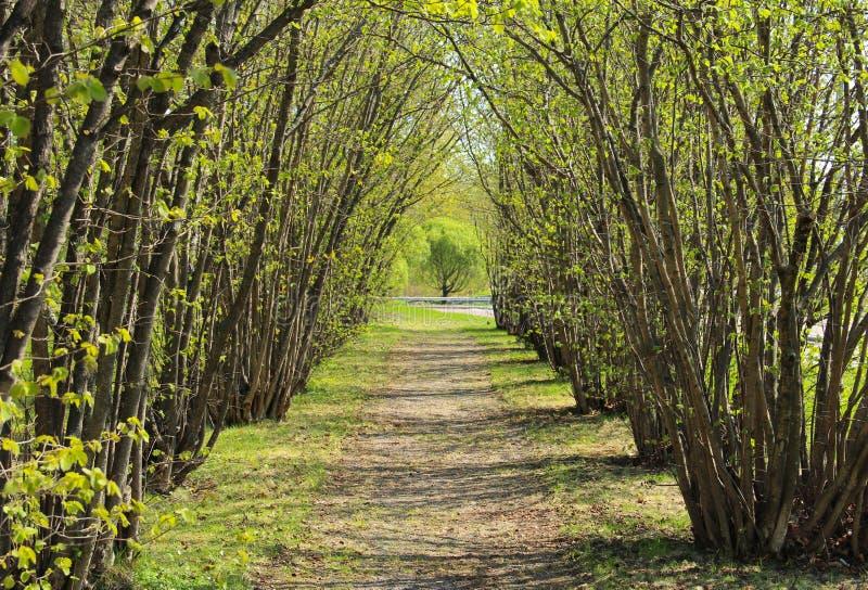 Avenue d'arbre noisette en premier ressort photos stock
