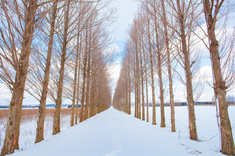 Avenue of Dawn redwood tree with snow stock image