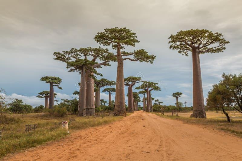 Avenue DE Baobab, Madagascar stock foto's