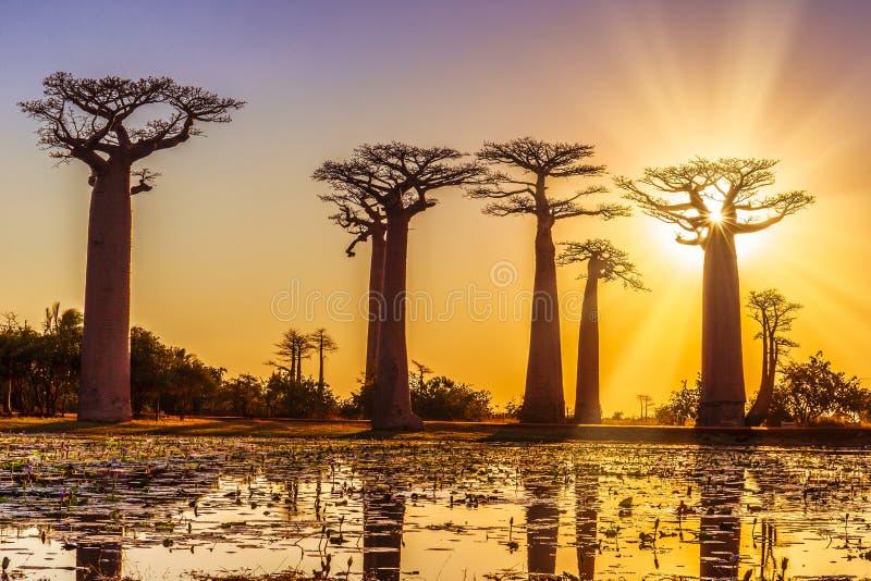 Avenue des baobabs avec un coucher du soleil étonnant photographie stock libre de droits