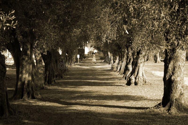 Avenue des oliviers et de la nonne photo libre de droits