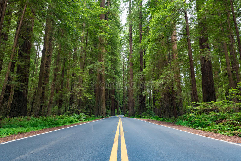 Avenue of the Giants stock photo