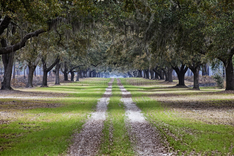 Download Avenue of live oaks stock image. Image of tranquil, avenue - 8913815