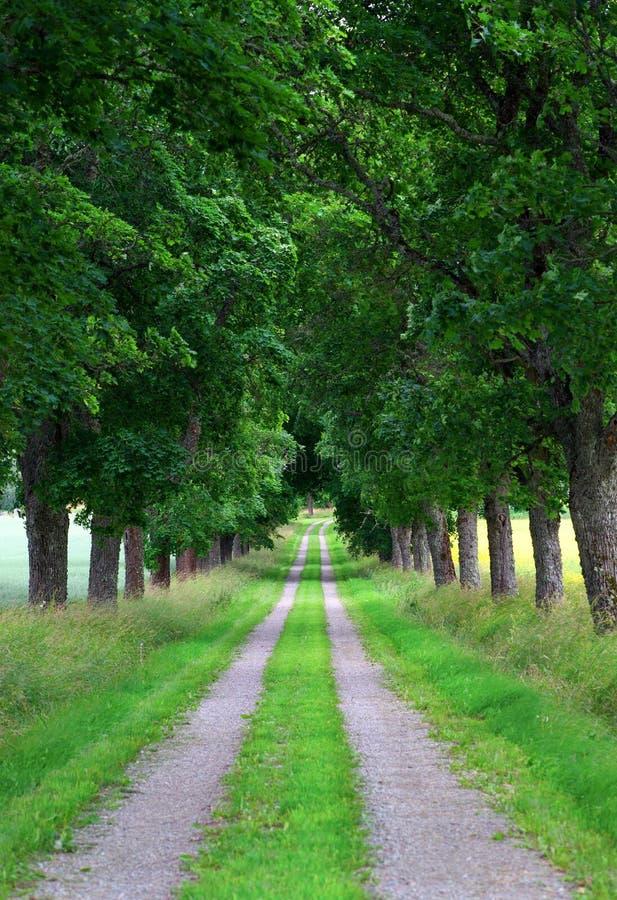 Avenue of maple trees stock image
