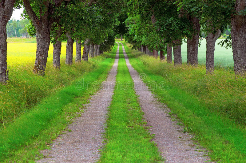 Avenue of maple trees royalty free stock photography